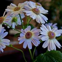 Цветёт цинерария :: Любовь Чунарёва