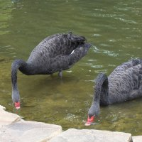 Черные лебеди (Cygnus atratus) :: Evgeny St.