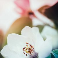 Цветение :: Анжелика Фотограф