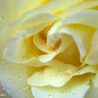 Rose :: Екатерина Фахриева