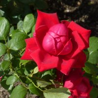 Роза в кремле :: Наиля