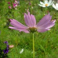 Красивая пора цветения космеи :: Нина Корешкова