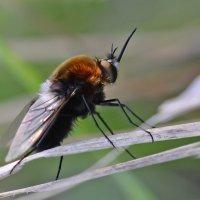 Цветочная  муха :: Геннадий С.