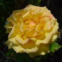 Жёлтая роза. :: zoja