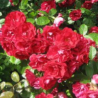 Роза вьющаяся красная :: laana laadas
