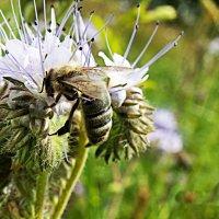 Пчела на фацелии :: Любовь