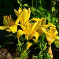 Жёлтые лилии :: Денис Змеев