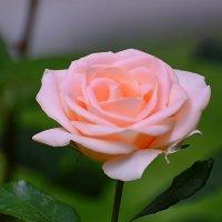 Розы в парке. :: Геннадий Александрович