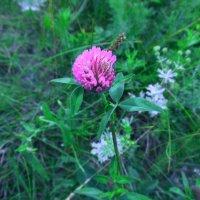 trifolium :: Юлия Каратаева