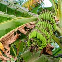 Бананы :: Маруся Шитова