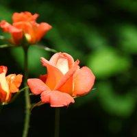 роза 3 :: Игорь Гарагуля