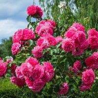 «..Куст розовый в медалях роз – Кто наградил настоль богато? ..» :: Андрей Нибылица