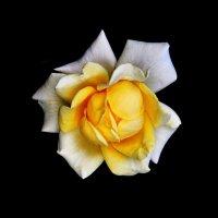 Роза :: Александр Горелов