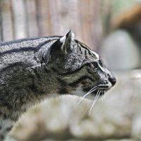 Кошечка Пражский зоопарк :: Юрий Воронов