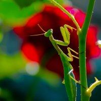 Обитатель розовых кустов... :: Julia Martinkova