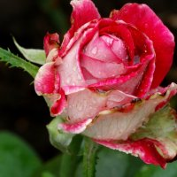 Июль,роза после дождя... :: Тамара (st.tamara)