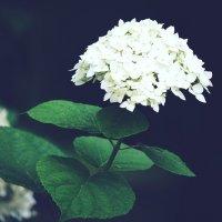 Белые цветы :: Zifa Dimitrieva