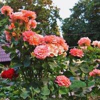 Розы для всех )) :: Людмила