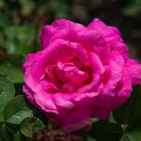 Роза :: Андрей Нибылица