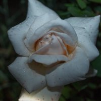 Просто роза :: Николай Knevech