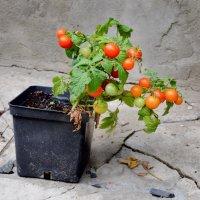Про помидоры... :: Михаил Болдырев