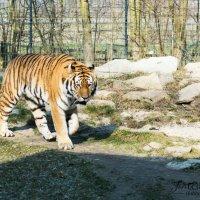 Тигр :: Юрий Шкунов