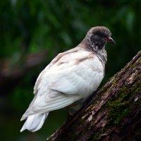Белый голубь :: Lera Morozova