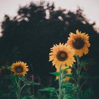 ay çiçekleri :: Selman Şentürk