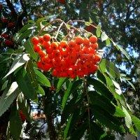 Вновь гроздья рябины горят как огни... :: Galina Dzubina