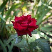 Роза :: Сергей Касимов