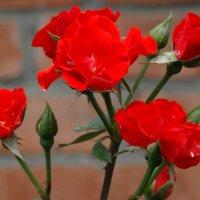Красных розочек букет... :: Тамара (st.tamara)