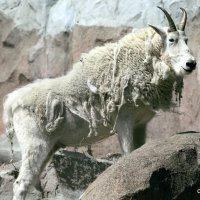 редкие животные в городе :: Олег Лукьянов