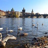 Лебеди на Влтаве :: Ольга