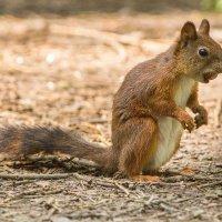 Белка летняя  полудохлая с орехом :: Михаил Даниловцев