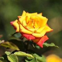 Огненная роза :: Елена Мухачева