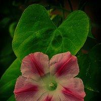 Цветы :: Вадим Аминов