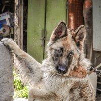 Собака -друг человека :: Вадим Куликов