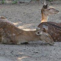 Обитатели зоопарка :: Ирина Олехнович