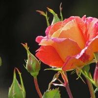 Роза :: Ирина Румянцева