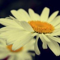 Ромашка- это цветок, который борется за любовь до последнего лепестка :: Оксана Мельниченко