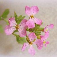 Цветет редиска и в августе... :: Lilly