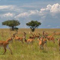 Африканская саванна :: Евгений Печенин