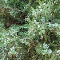 Вечнозелёные... :: Тамара (st.tamara)