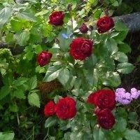 Розы :: Mary Коллар
