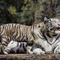 Белые тигры :: Nn semonov_nn