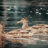 Ducks :: Aleksandr Tishkov