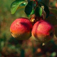 Яблочки созревают... :: Maxim Timofeev