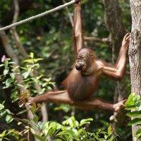 Любимый шпагат орангутанга :: Елена Павлова (Смолова)
