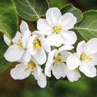 яблоня в цвету :: Анна LyA