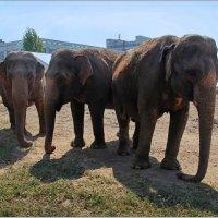 Слоны- циркачи на досуге. :: Роланд Дубровский